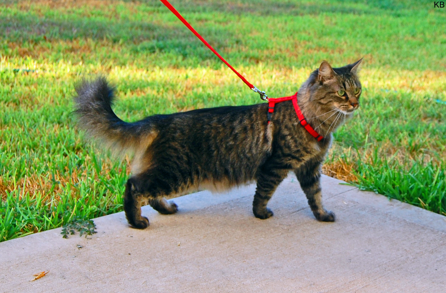 You can take your cat out on a walk with a feline harness!