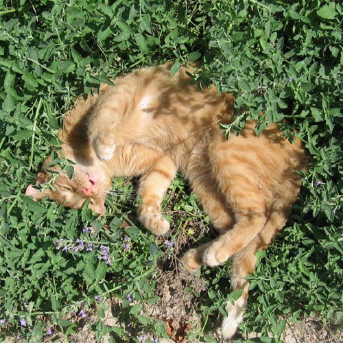 Is Catnip Good for your Cats?