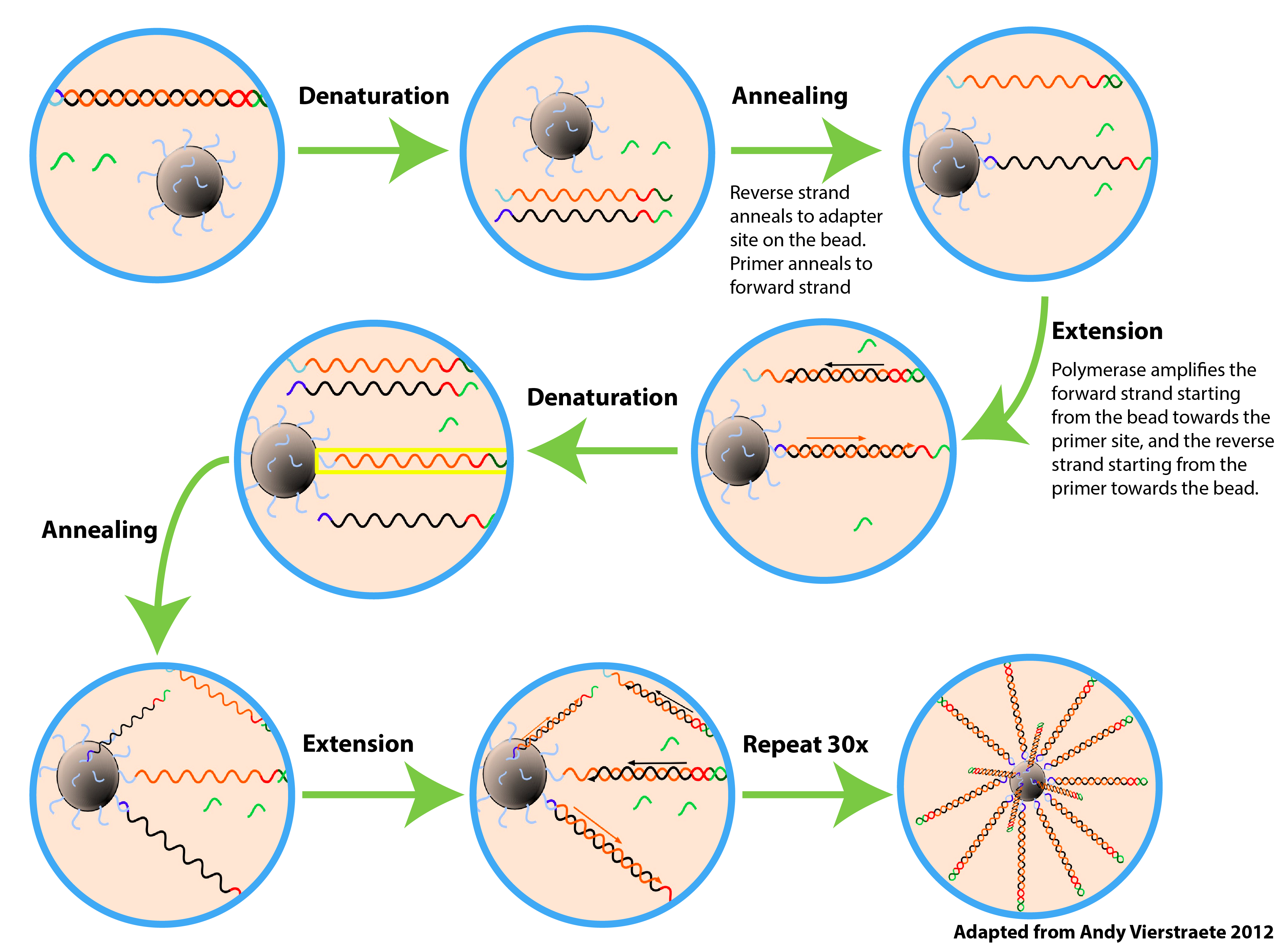 ePCR amplifies DNA strands on beads.